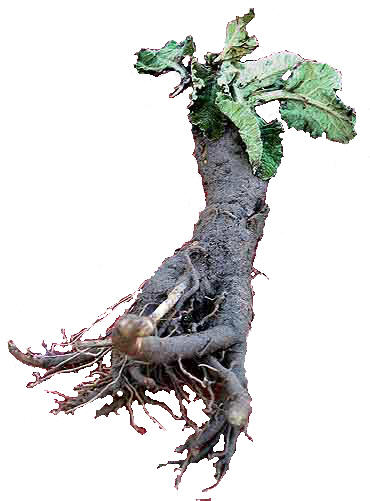Burdock-Root