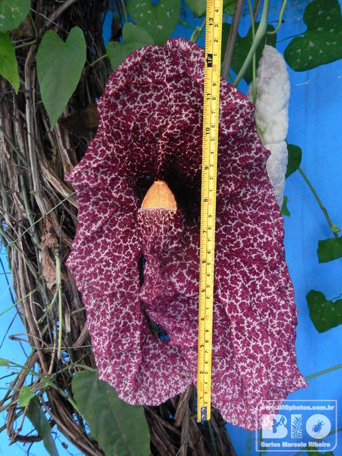 Aristolochia BIOphotos Nature Stock Photos cod6936
