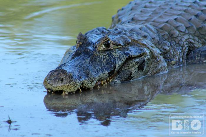 Jacare Pantanal MS cod4061