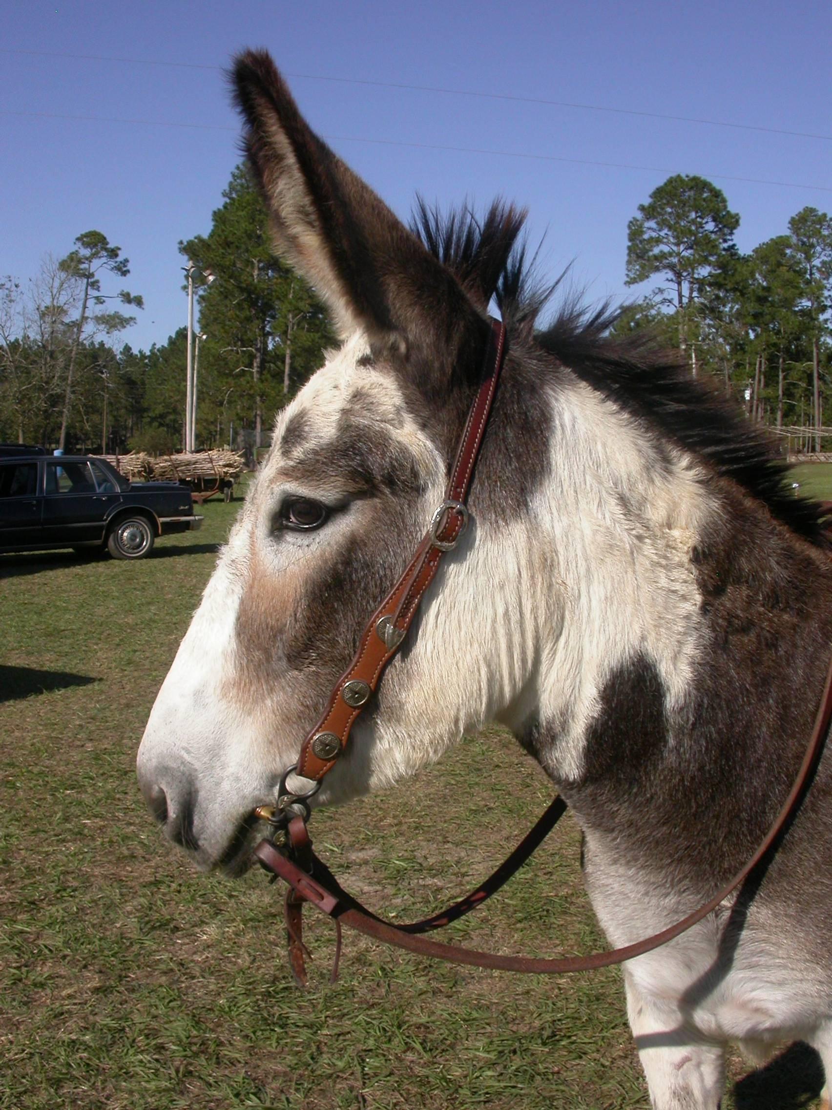 My name is Jule, Yes I'm a mule.
