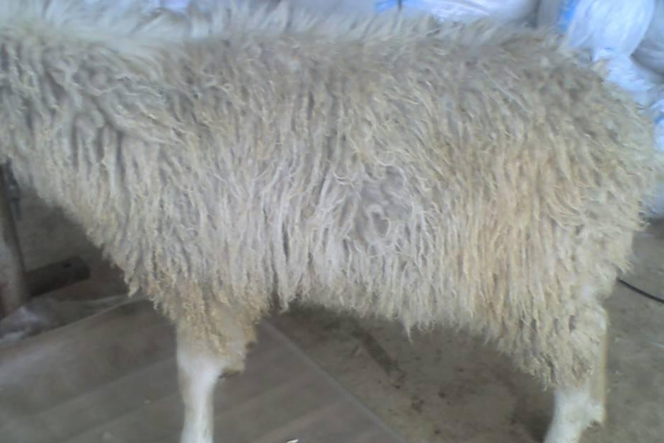 Full fleece on a Merrrit buck