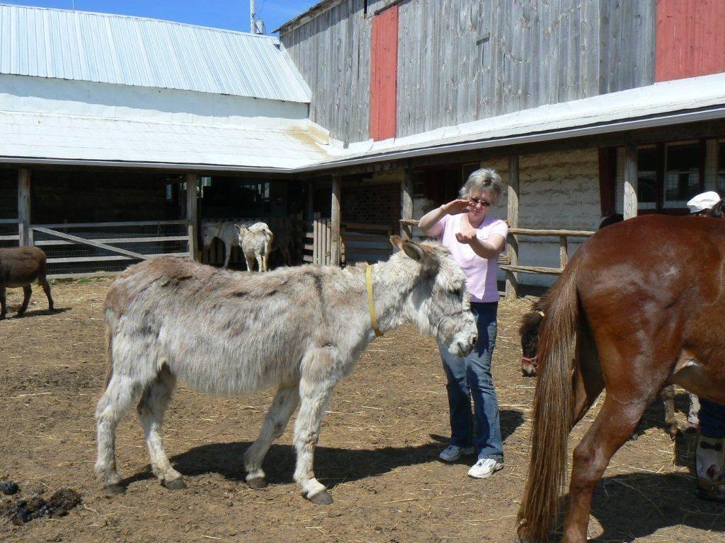 Lucy donkey receiving her Animal Reiki Attunement  at PrimRose Donkey Sanctuary