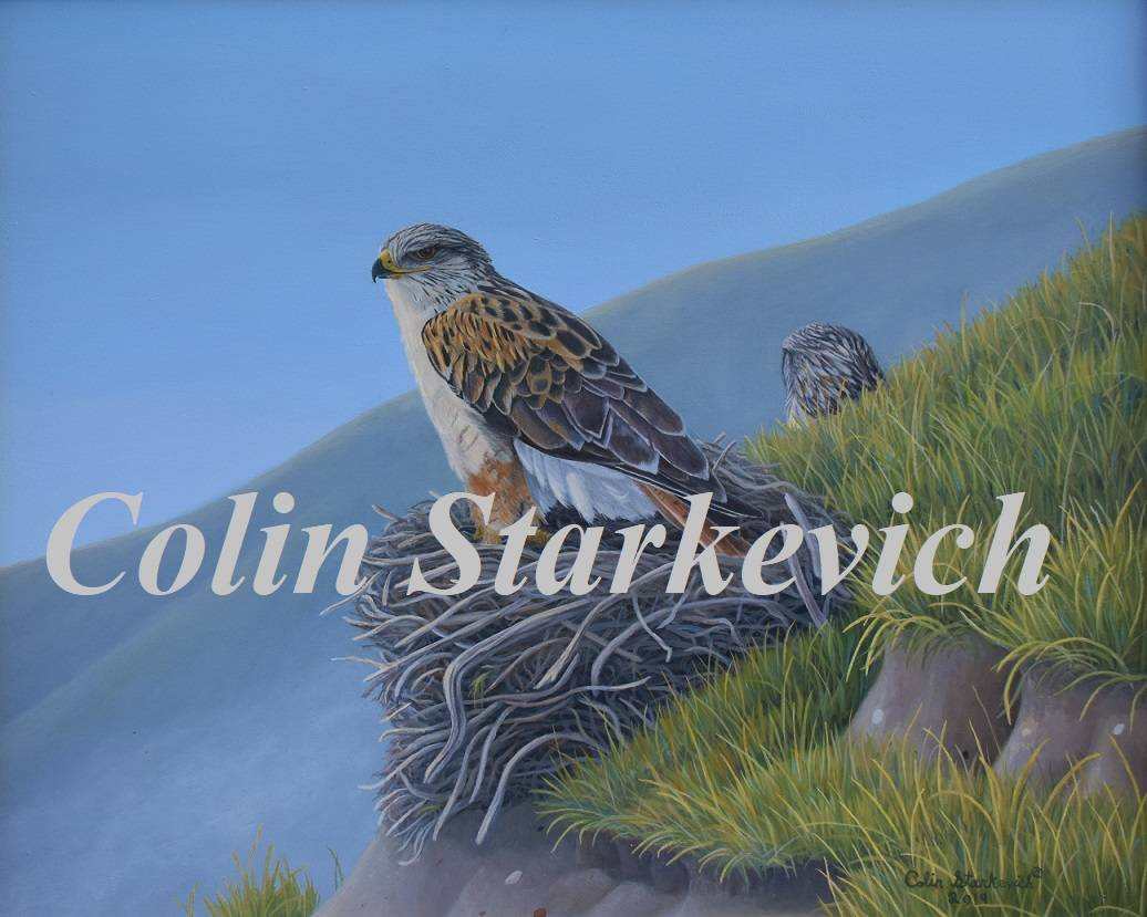 """Cliff Nesters - Ferruginous Hawks (16 by 20"""" acrylic on masonite) In Private Collection"""