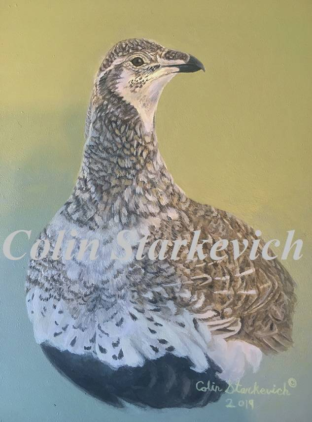 """Female Greater Sage Grouse (7 by 5"""" acrylic on gessoboard) In Private Collection"""