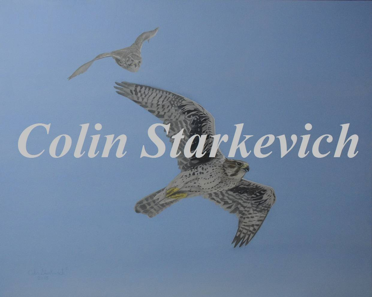 "On the Wing-Prairie Falcons (24 by 30"" acrylic on panel)"