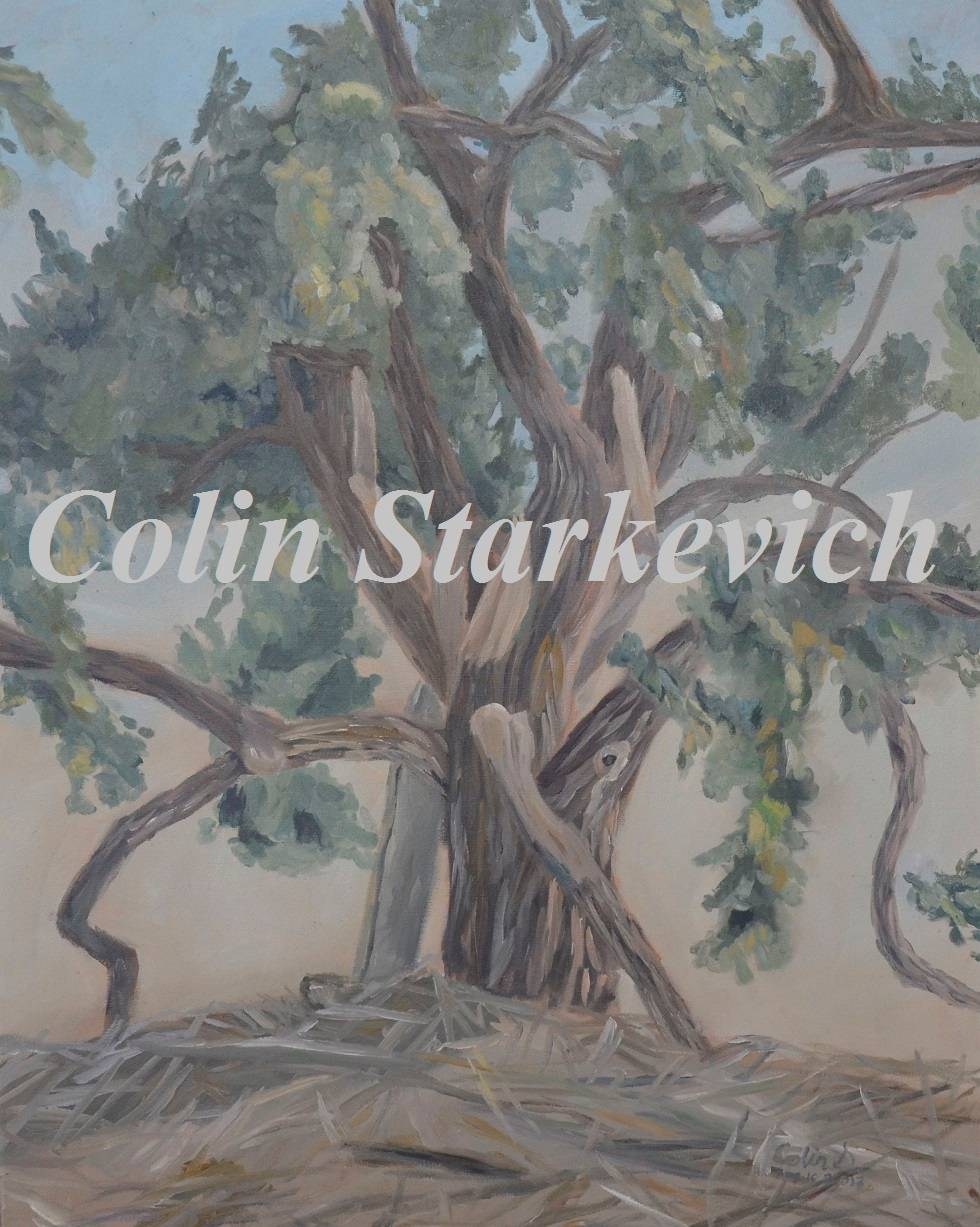 """Cottonwood Tree (24 by 36"""" oil on canvas)"""