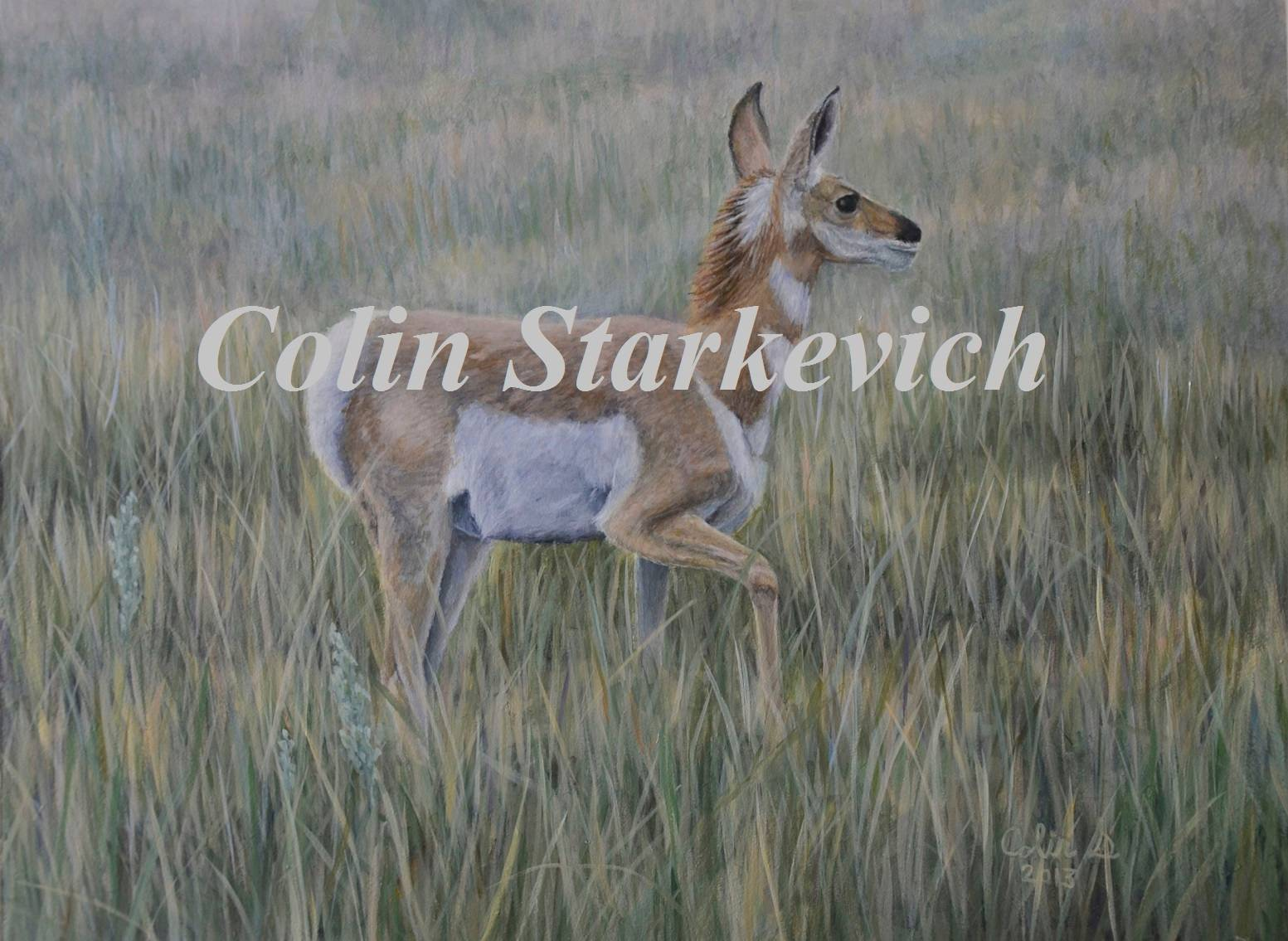 """Study of young Pronghorn ( 9 by 12"""" acrylic on masonite)"""