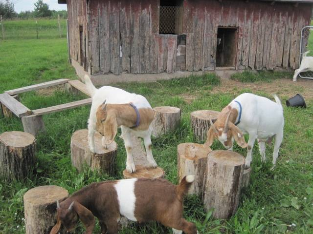 Goat playground