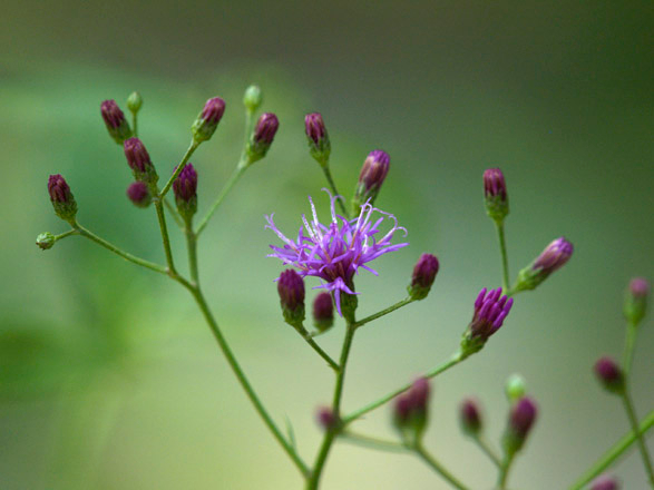 Close-up of Ironweed flowers
