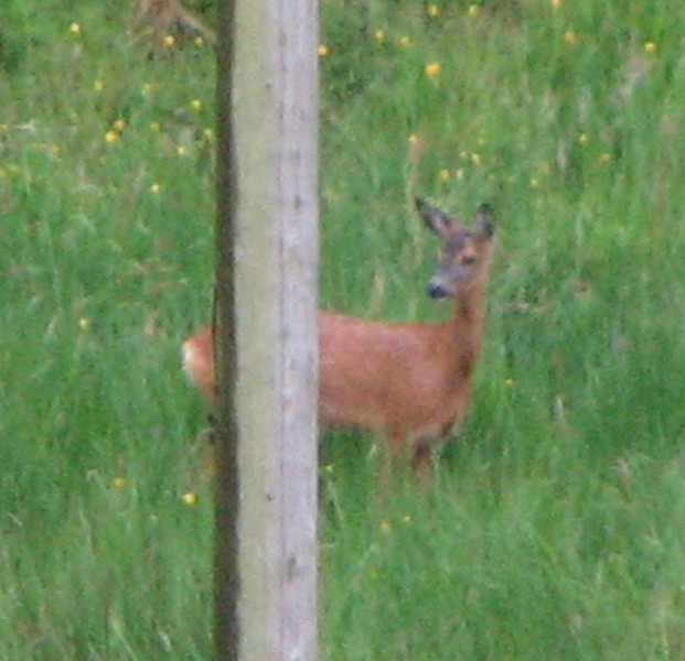 Doe hiding behind telegraph pole !
