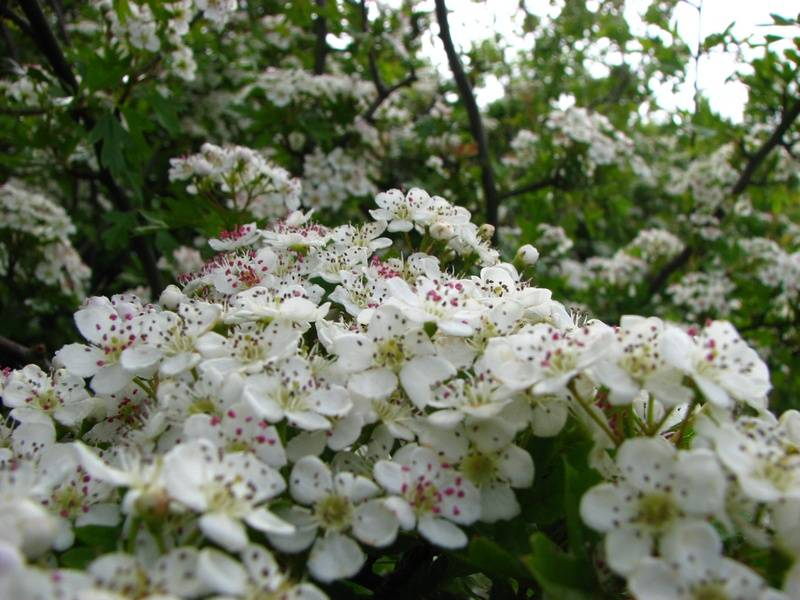 Hawthorn blossom in May
