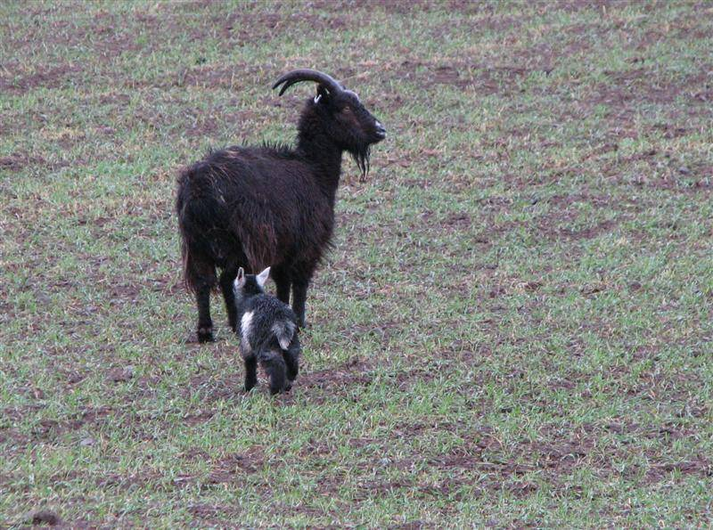 wild goat with kid in cheviot hills