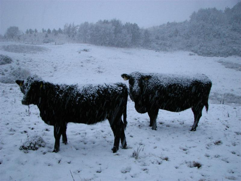 Cattle in the snow 09