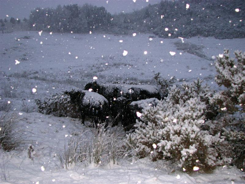Cattle in snow 4