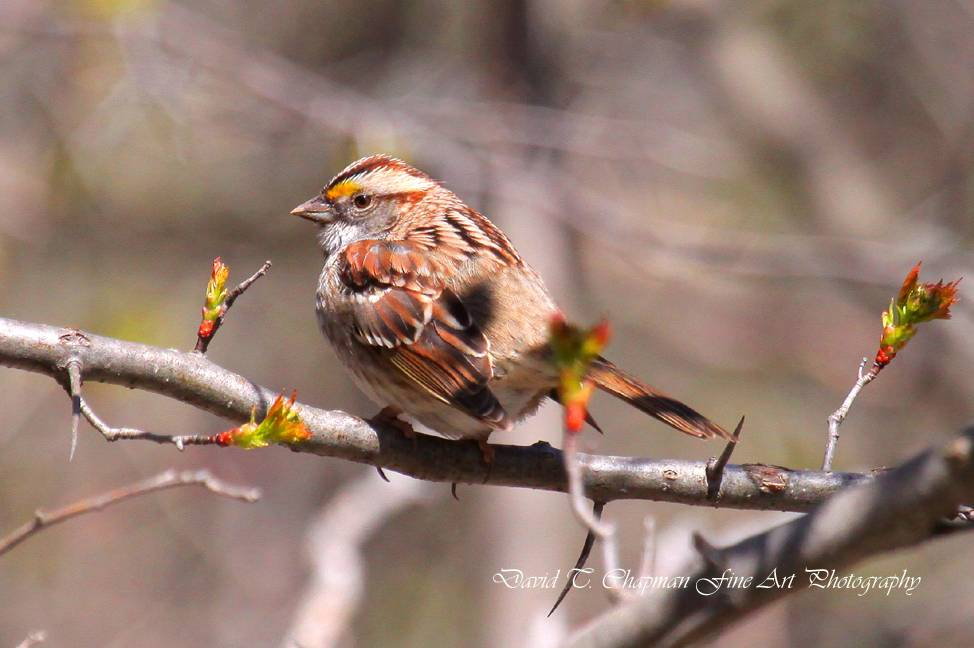 Tanned-morph White Throated Sparrow