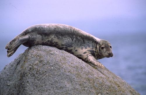 Kegelrob (Grijze zeehond)