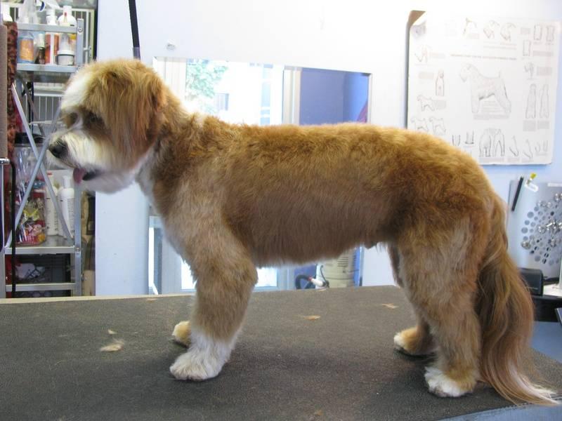 Tibetan Terrier mix