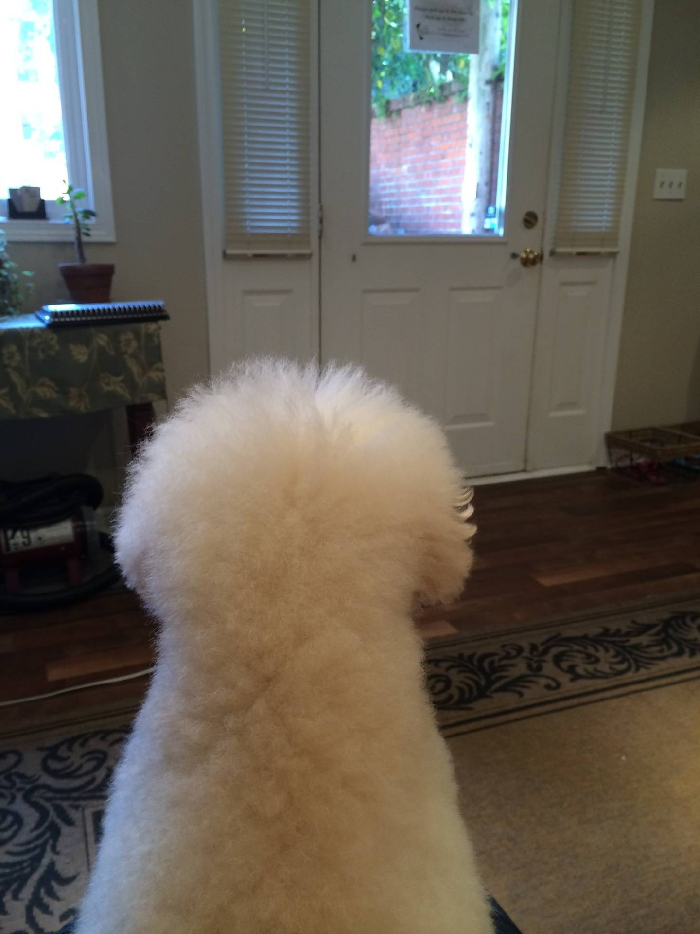 Toy Poodle waiting for mom