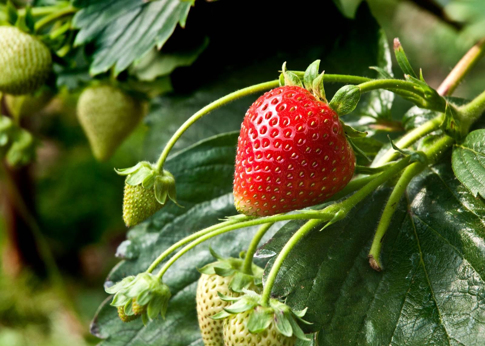 King Strawberry
