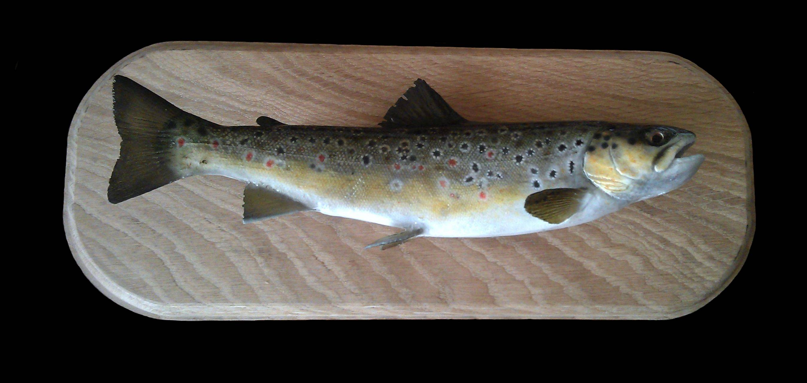 "10"" brown trout"