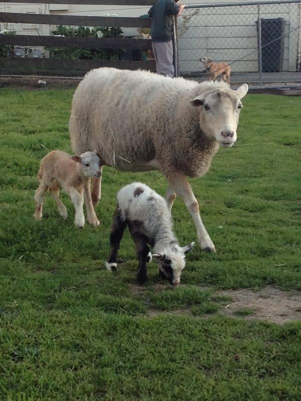 sarah and lambs