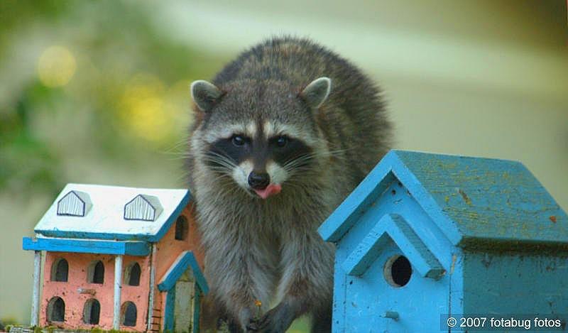 Raccoon eating cherry