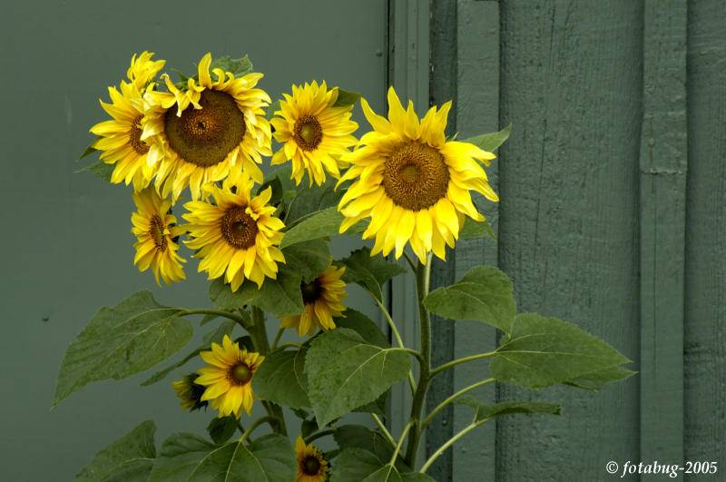 Sunflowers against green wall