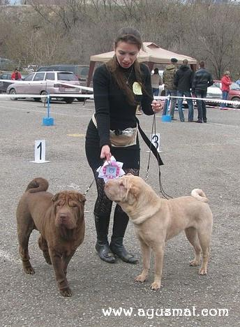 Shar-pei Specialty Dog Show - 17.04.2010, Volgograd, Russia