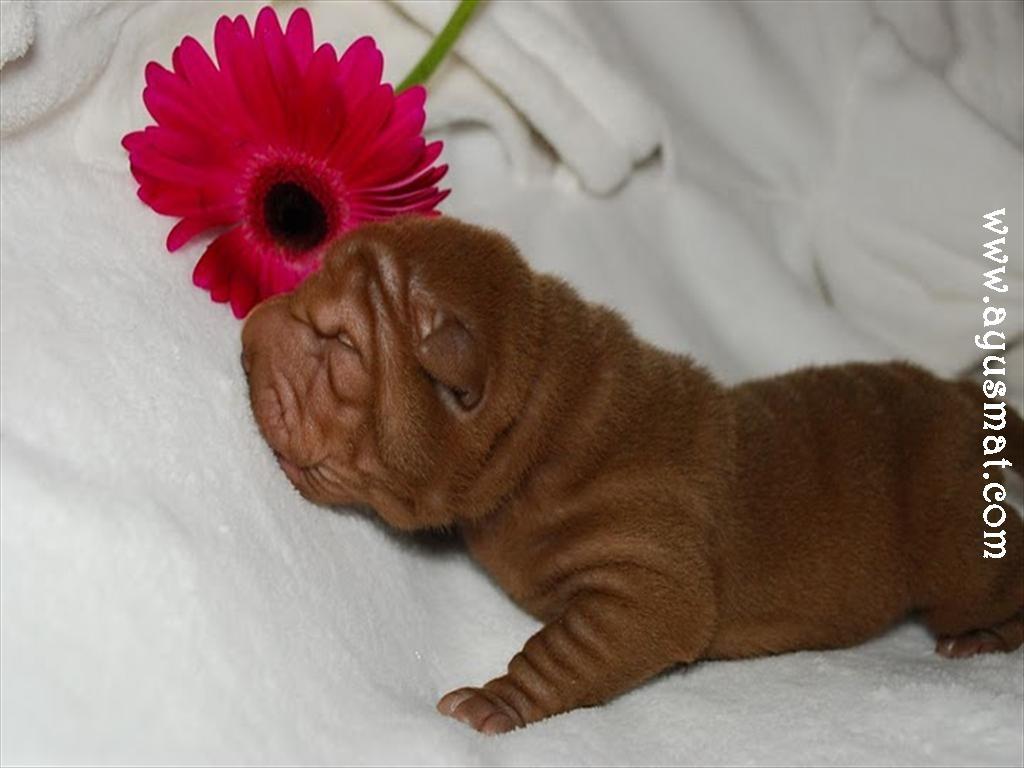 Chocolate male