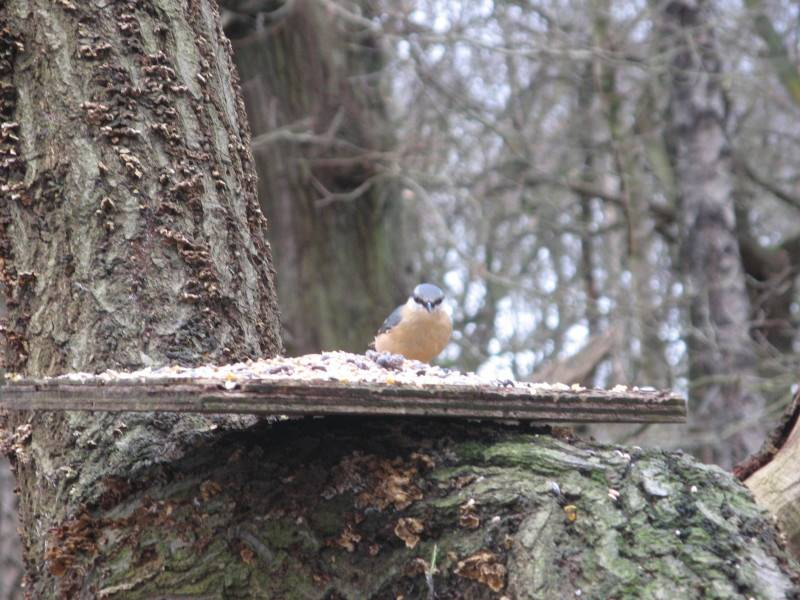 nuthatch Cannock Chase