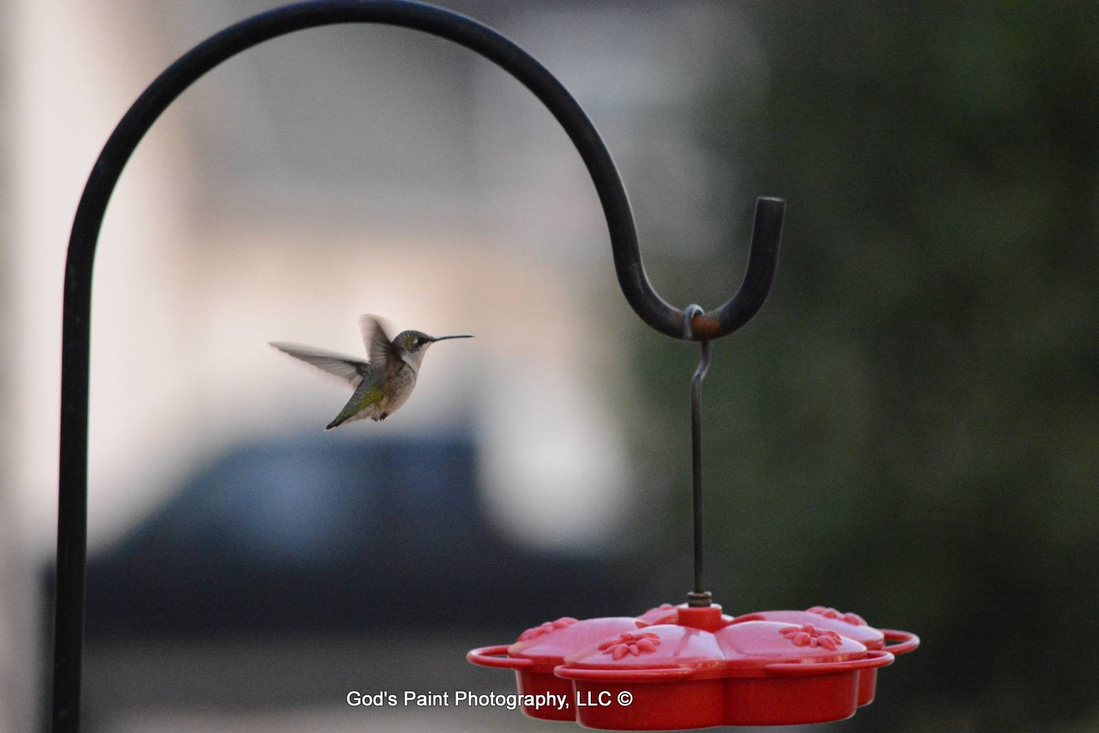 Hummingbird Buzzing Happily Around The Feeder