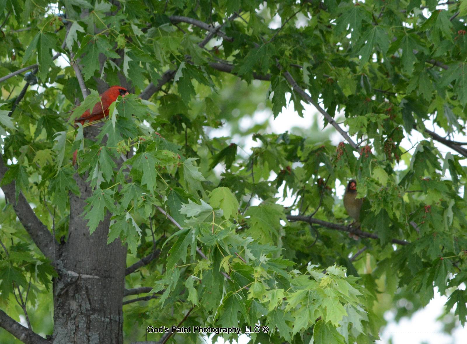 Male & Female Cardinals In The Tree