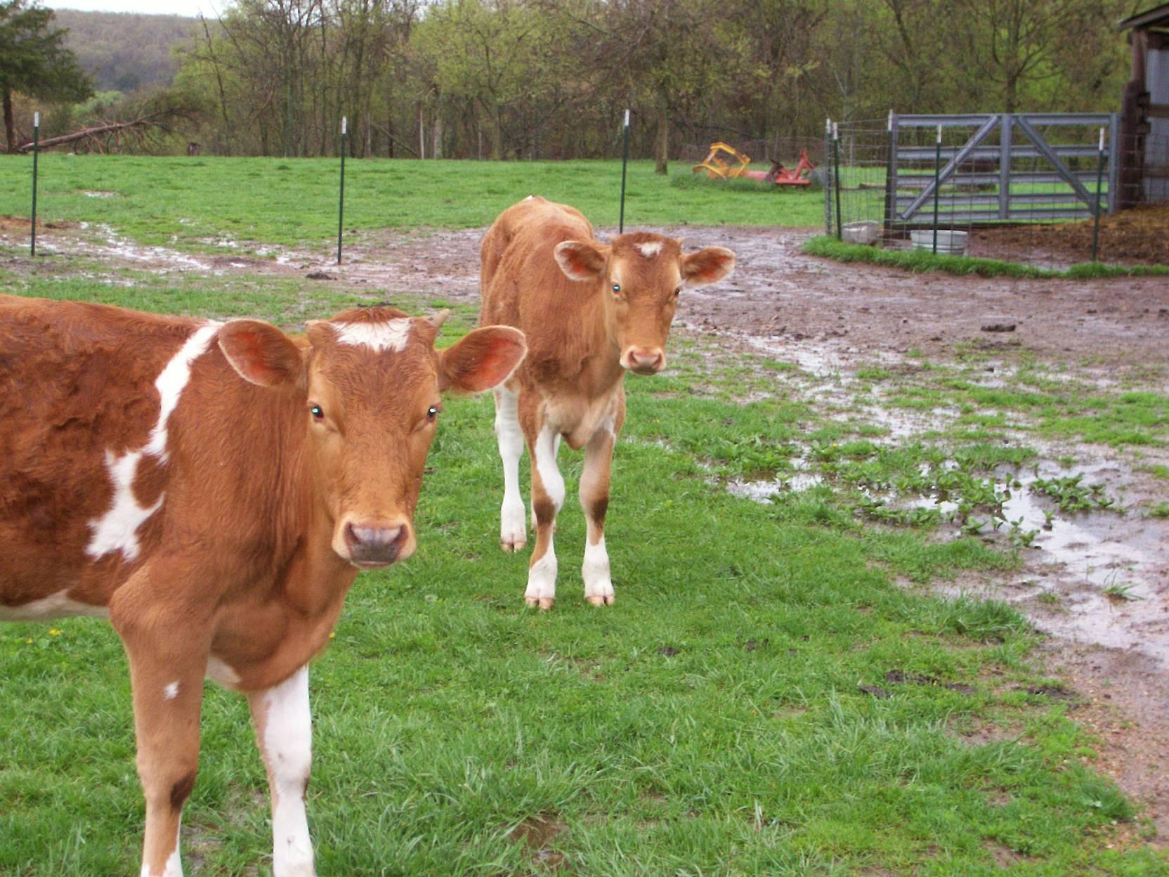 Guernsey Calves