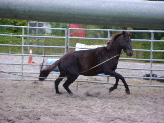 This gelding was so mentally damaged that even though he was not afraid he would not cooperate with any request.