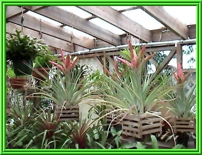 Tillandsia fasciculata 'Tropiflora' $45.00