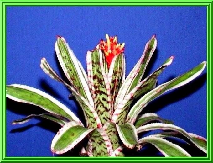 Aechmea 'Bert' (Cultivar) $12.00
