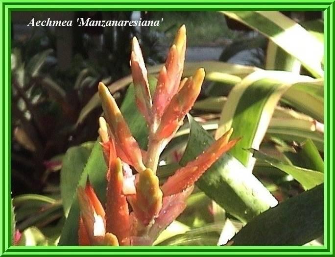 Aechmea 'Manzanaresiana' $30.00