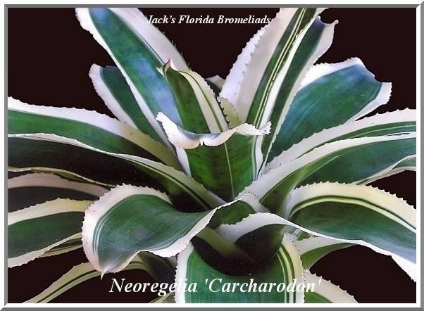 Neoregelia carcharodon marginata $22.00