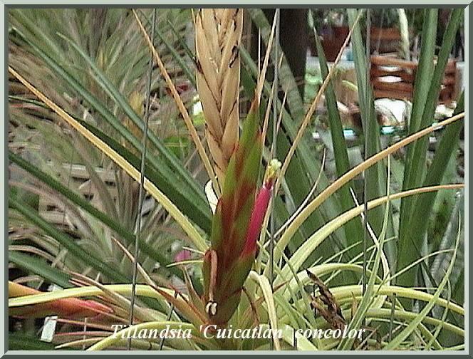 Tillandsia 'Cuicatlan' concolor $15.00