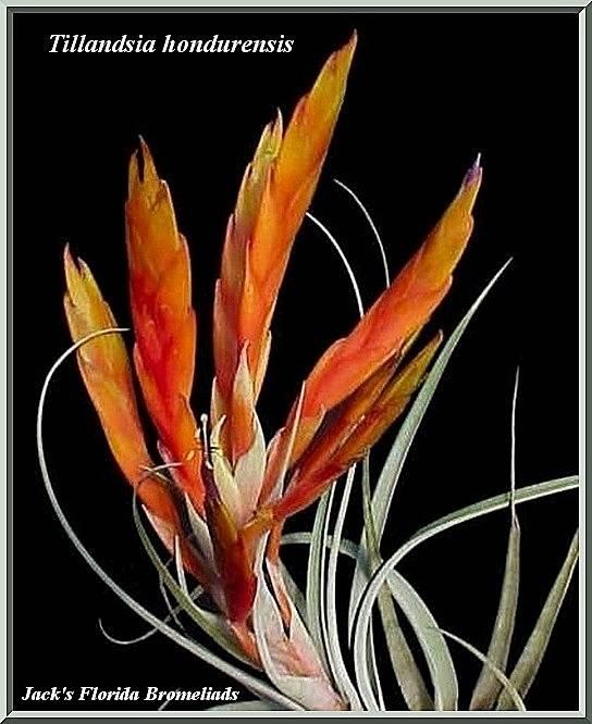 Tillandsia hondurensis $10.00