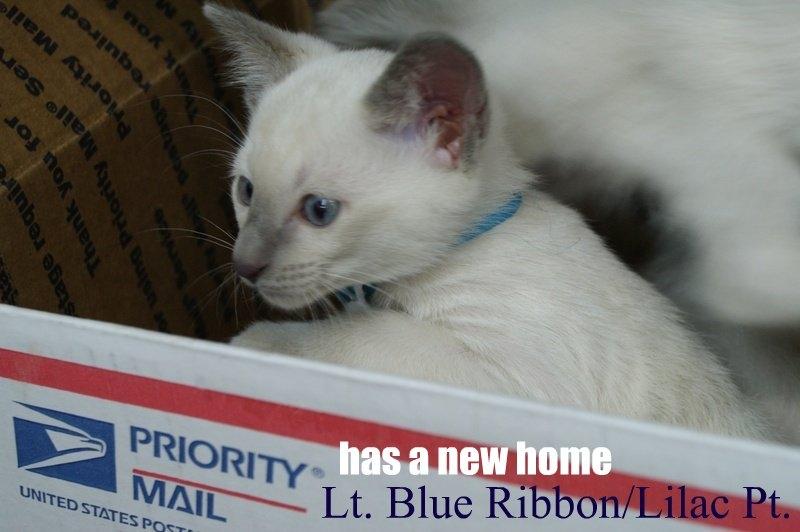 Lt. Blue Ribbon/ Lilac Pt.