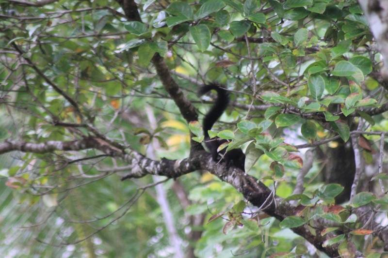 Black Squirel at La Casa Verde Panama