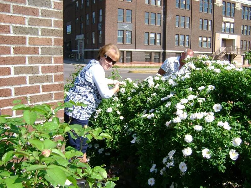 Deadheading the Shrub Roses