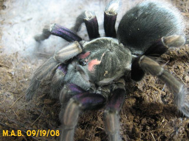 Pamphobeteus ultramurinus