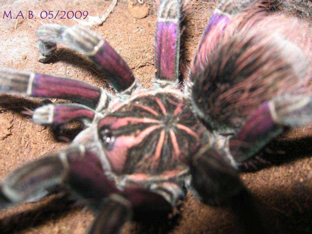 "Pamphobeteus sp. ""platyomma"""