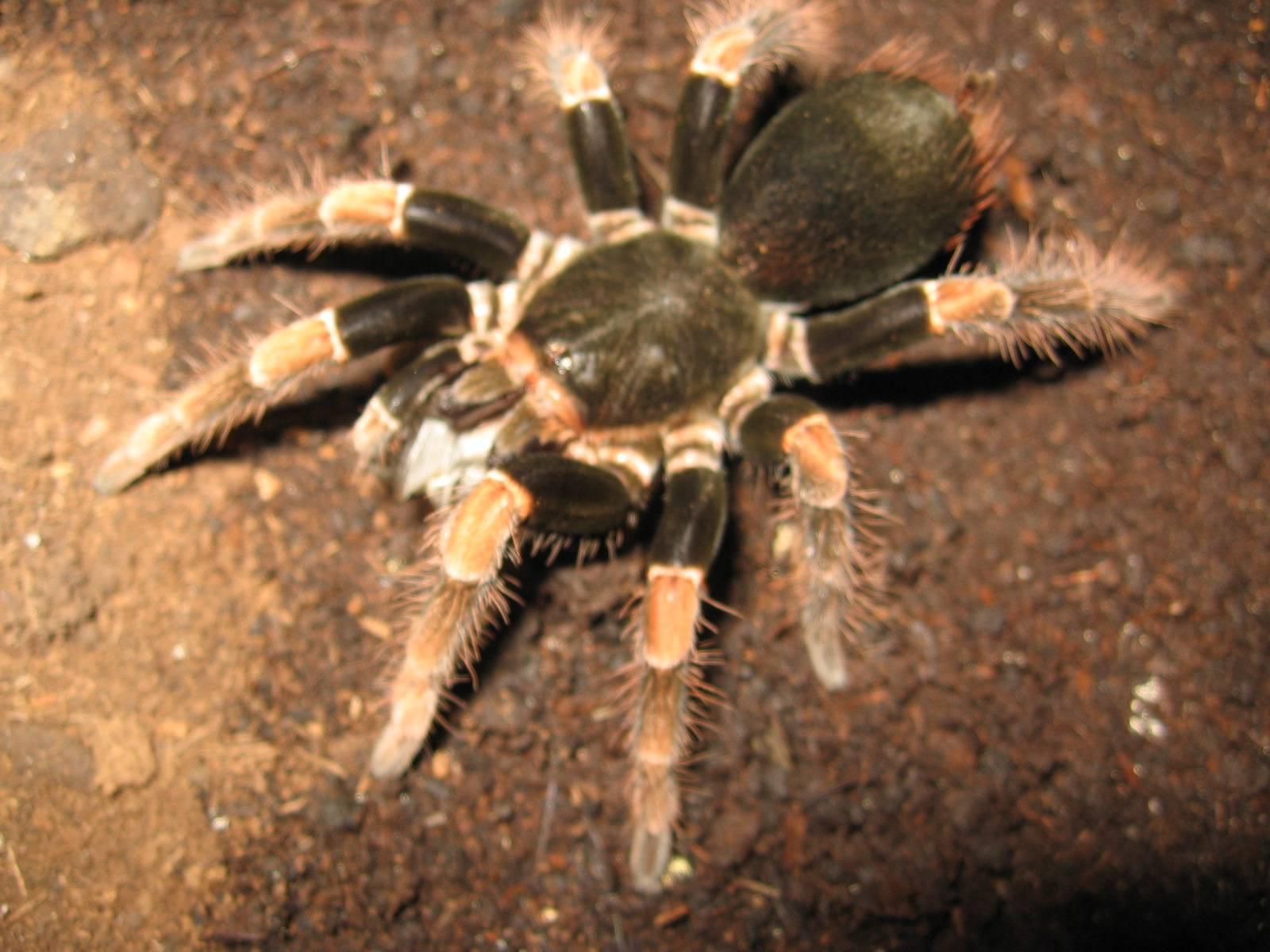 Megaphobema mesomelas