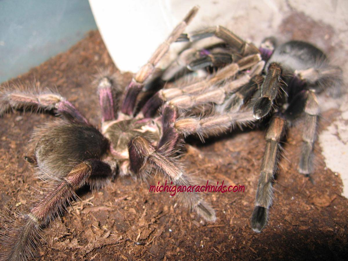 P. ultramurinus breeding 2011