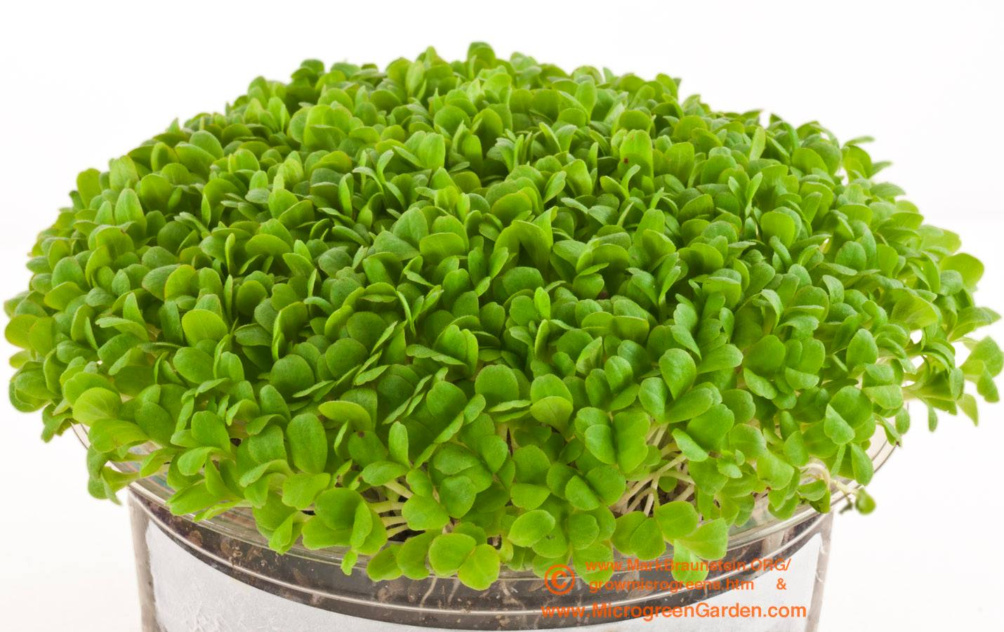 LETTUCE microgreens, Red Romaine, 6 days since sown