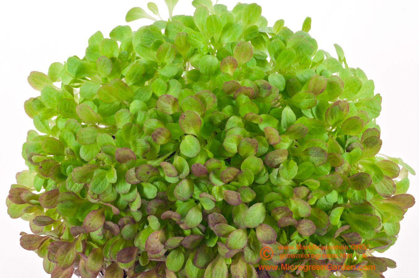 LETTUCE microgreens, Red Romaine, near true leaf stage; 18 days since sown