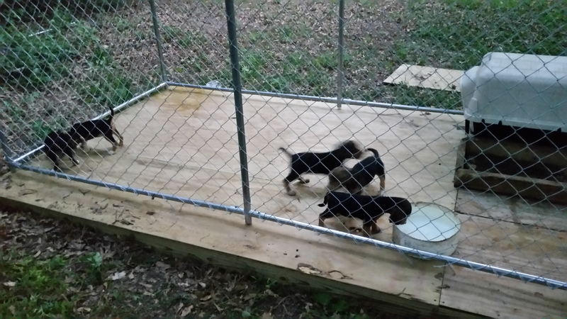 King and Sweetie's puppies